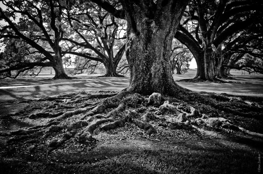 Old River Oak Tree in Black and White on River Road in Louisiana photo by Houston Commercial Photographer Dee Zunker