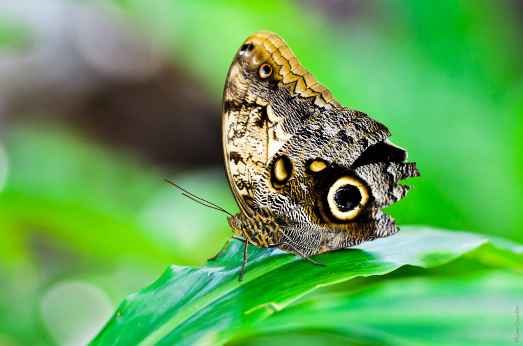 Owl Butterfly at the Cockrell Butterfly Museum photo by Houston Commercial Photographer Dee Zunker